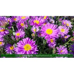 Aster alpinus 'Happy End'...