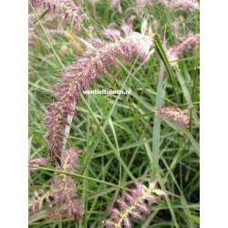 copy of Pennisetum Hameln,...