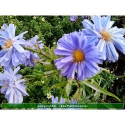 Thymus praecox 'Albiflorus'  Tijm