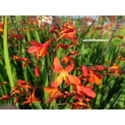copy of Crocosmia George...