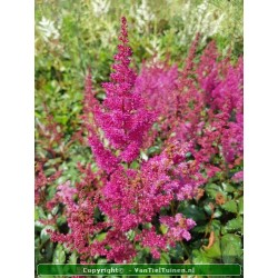 copy of Astilbe arendsii Fanal